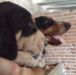 cachorros bluetick coonhound